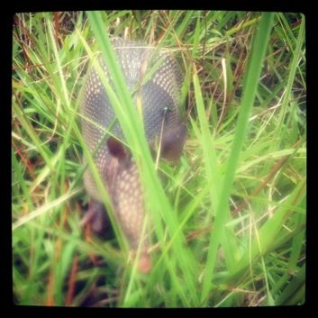 Baby armadillo through my steamed up iPhone lens!