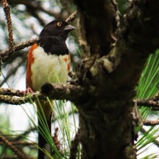 "Spotted an Eastern Towhee, even though he was not singing the exact same ""drink your tea"" as they have on my birdsong CD...maybe a Florida version?"